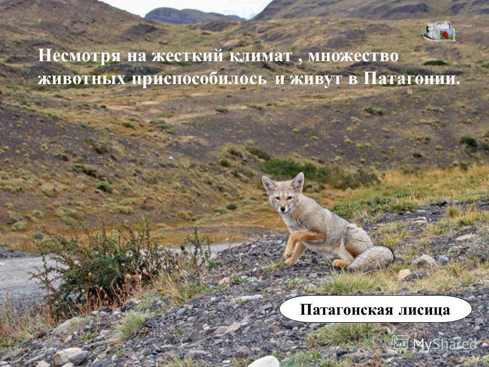 Несмотря на жесткий климат, множество животных приспособилось и живут в Патагонии. Патагонская лисица
