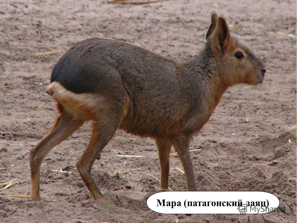 Мара (патагонский заяц)
