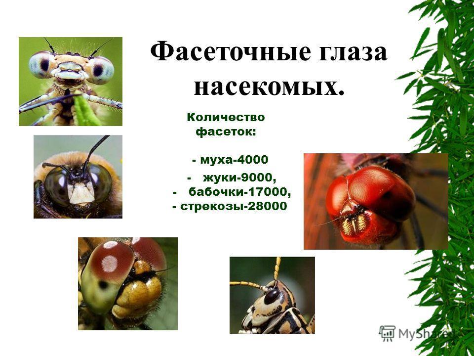 Количество фасеток: - муха-4000 - жуки-9000, - бабочки-17000, - стрекозы-28000 Фасеточные глаза насекомых.