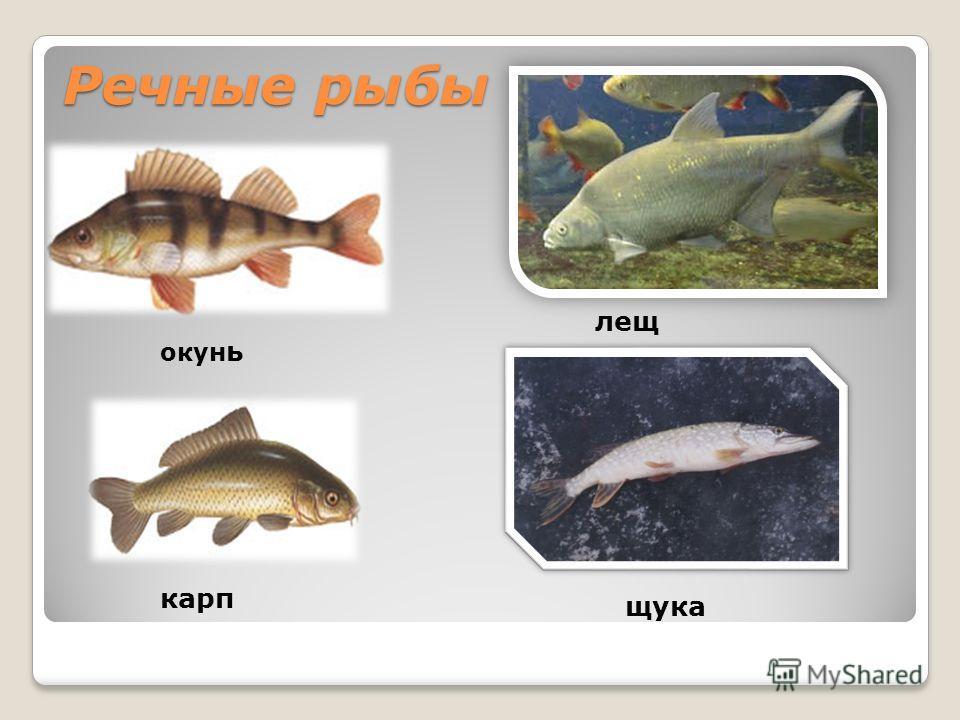 Речные рыбы окун ь карп лещ щука