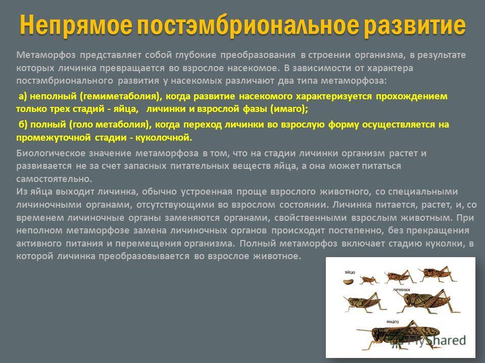 Непрямое постэмбриональное развитие Метаморфоз представляет собой глубокие преобразования в строении организма, в результате которых личинка превращается во взрослое насекомое. В зависимости от характера постэмбрионального развития у насекомых различ