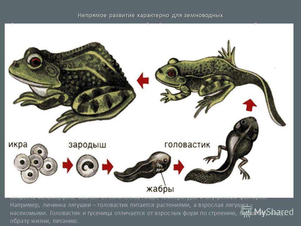 Непрямое развитие характерно для земноводных Личинка лягушки – головастик - напоминает рыбку. Он плавает у дна, проталкивая себя вперед хвостом, обрамленным плавником и дышит сначала наружными жабрами, торчащими пучками по бокам головы, а позднее вну