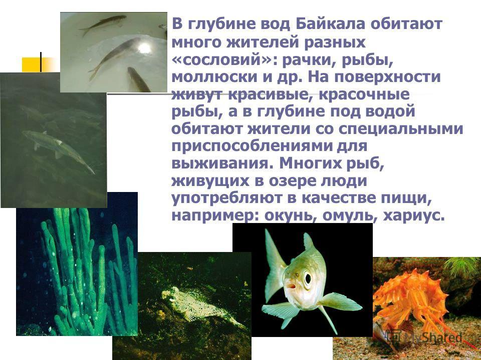 В глубине вод Байкала обитают много жителей разных «сословий»: рачки, рыбы, моллюски и др. На поверхности живут красивые, красочные рыбы, а в глубине под водой обитают жители со специальными приспособлениями для выживания. Многих рыб, живущих в озере