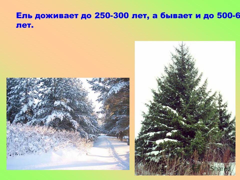По сравнению с другими деревьями, ель удиви- тельно стройна. Издали она похожа на наконечник огромной нацеленной в небо пики - так прям её ствол.