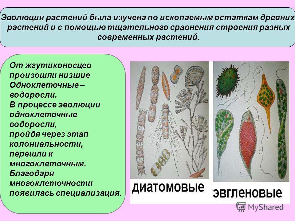 Эволюция растений была изучена по ископаемым остаткам древних растений и с помощью тщательного сравнения строения разных современных растений. От жгутиконосцев произошли низшие Одноклеточные – водоросли. В процессе эволюции одноклеточные водоросли, п
