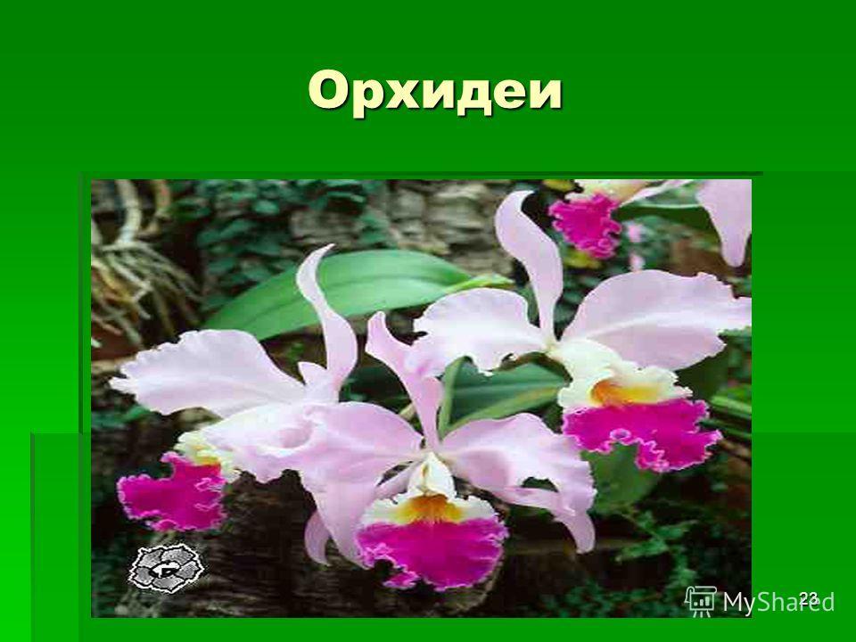 23 Орхидеи