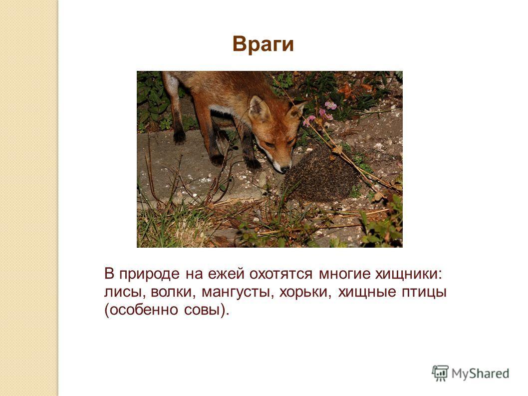 В природе на ежей охотятся многие хищники: лисы, волки, мангусты, хорьки, хищные птицы (особенно совы). Враги