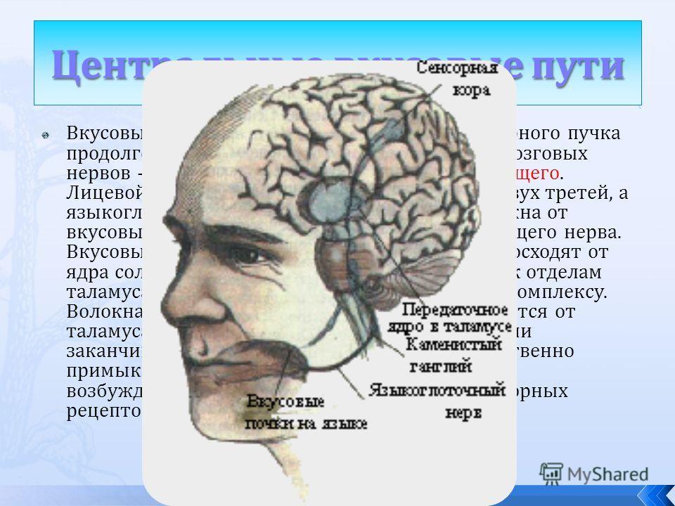Вкусовые волокна идут от языка к ядру солитарного пучка продолговатого мозга в составе трех черепно-мозговых нервов - лицевого, языкоглоточного и блуждающего. Лицевой нерв содержит волокна от передних двух третей, а языкоглоточный - от задней трети я