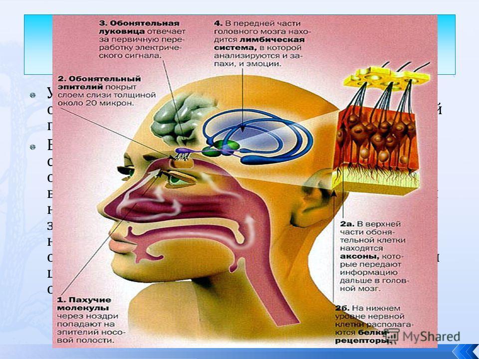 У позвоночных органом обоняния является обонятельный эпителий, расположенный в носовой полости на верхней носовой раковине. Вещества, попадающие на поверхности специализированных рецепторов клеток обонятельного эпителия, вызывают их возбуждение. Нерв