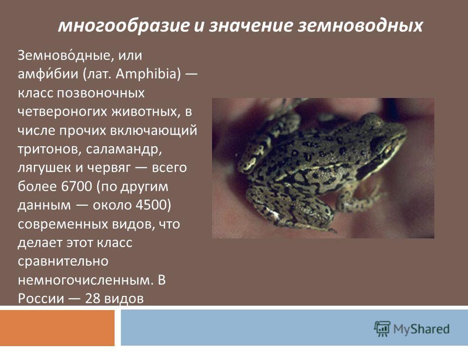 многообразие и значение земноводных Земноводные, или амфибии ( лат. Amphibia) класс позвоночных четвероногих животных, в числе прочих включающий тритонов, саламандр, лягушек и червяг всего более 6700 ( по другим данным около 4500) современных видов,