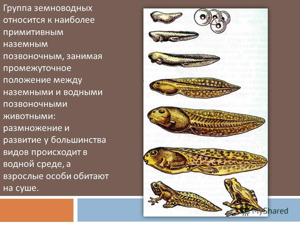Группа земноводных относится к наиболее примитивным наземным позвоночным, занимая промежуточное положение между наземными и водными позвоночными животными : размножение и развитие у большинства видов происходит в водной среде, а взрослые особи обитаю