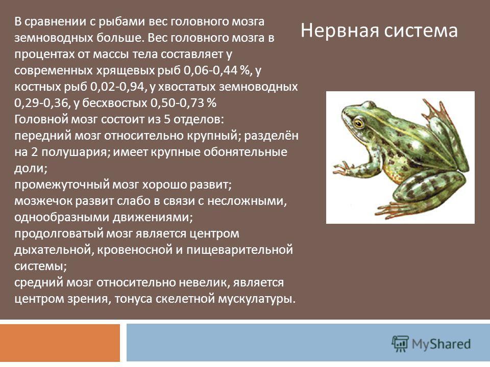 В сравнении с рыбами вес головного мозга земноводных больше. Вес головного мозга в процентах от массы тела составляет у современных хрящевых рыб 0,06-0,44 %, у костных рыб 0,02-0,94, у хвостатых земноводных 0,29-0,36, у бесхвостых 0,50-0,73 % Головно