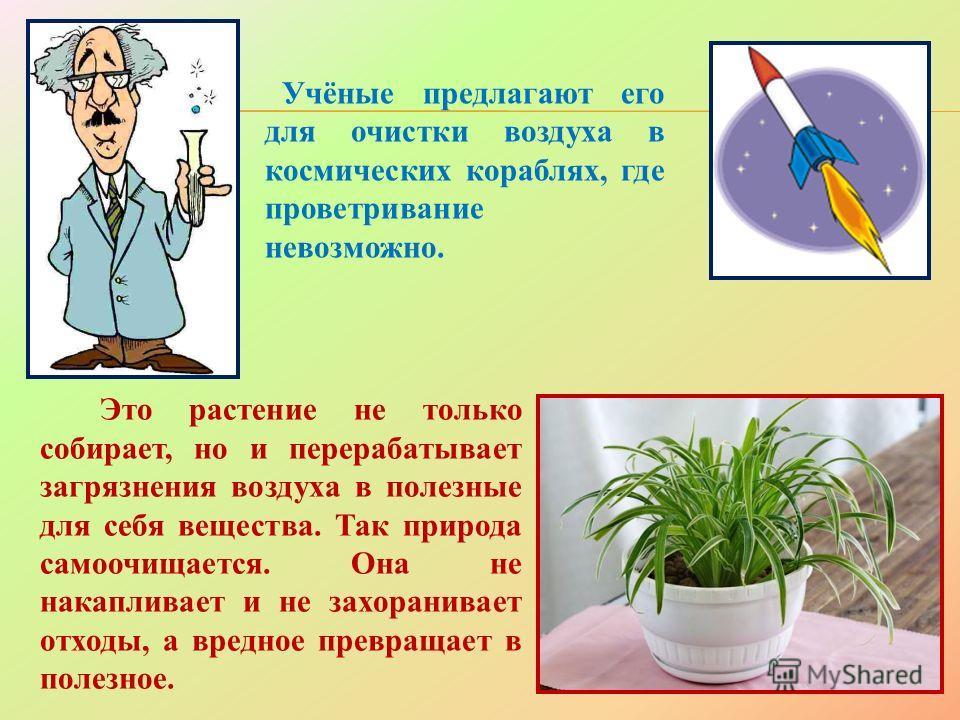 Это растение не только собирает, но и перерабатывает загрязнения воздуха в полезные для себя вещества. Так природа самоочищается. Она не накапливает и не захоранивает отходы, а вредное превращает в полезное. Учёные предлагают его для очистки воздуха
