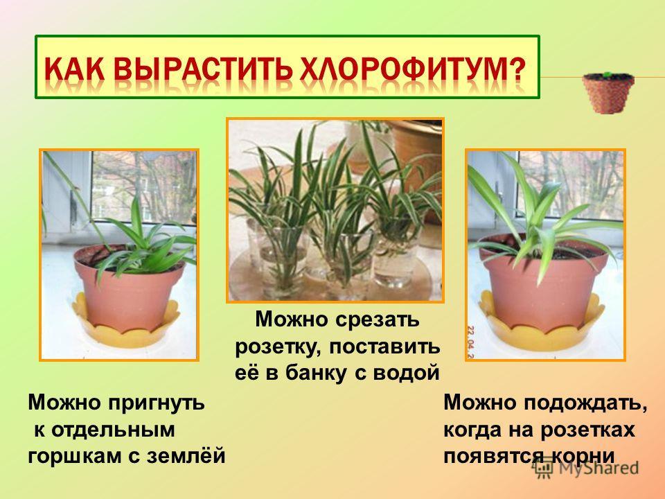 Можно пригнуть к отдельным горшкам с землёй Можно подождать, когда на розетках появятся корни Можно срезать розетку, поставить её в банку с водой