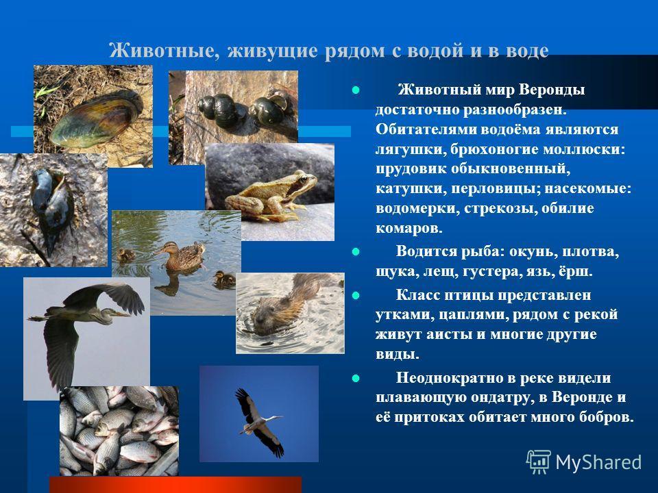 Животные, живущие рядом с водой и в воде Животный мир Веронды достаточно разнообразен. Обитателями водоёма являются лягушки, брюхоногие моллюски: прудовик обыкновенный, катушки, перловицы; насекомые: водомерки, стрекозы, обилие комаров. Водится рыба: