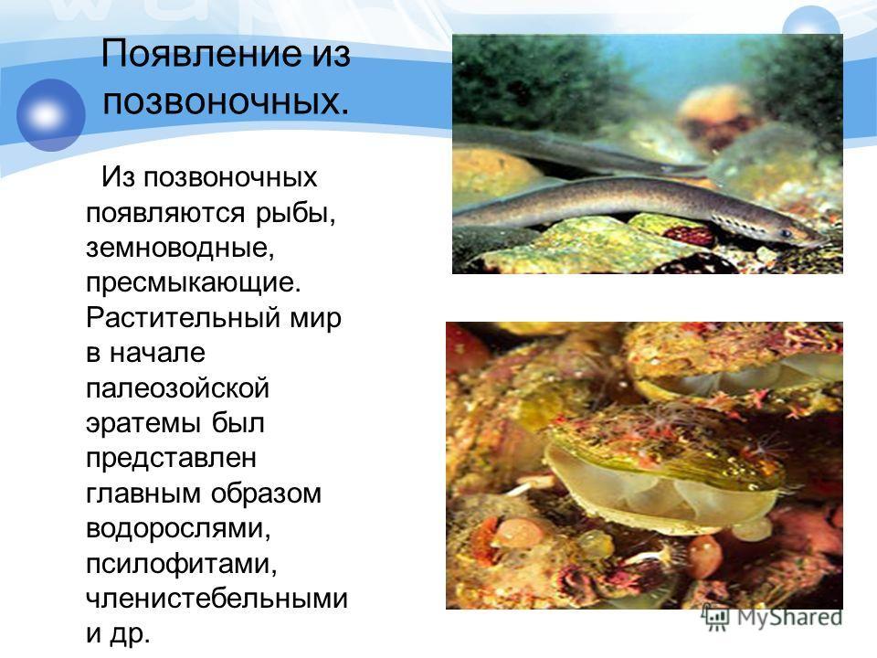 Появление из позвоночных. Из позвоночных появляются рыбы, земноводные, пресмыкающие. Растительный мир в начале палеозойской эратемы был представлен главным образом водорослями, псилофитами, членистебельными и др.