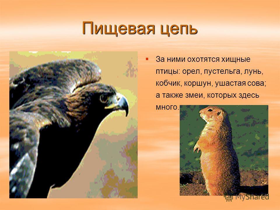 Пищевая цепь За ними охотятся хищные птицы: орел, пустельга, лунь, кобчик, коршун, ушастая сова; а также змеи, которых здесь много.