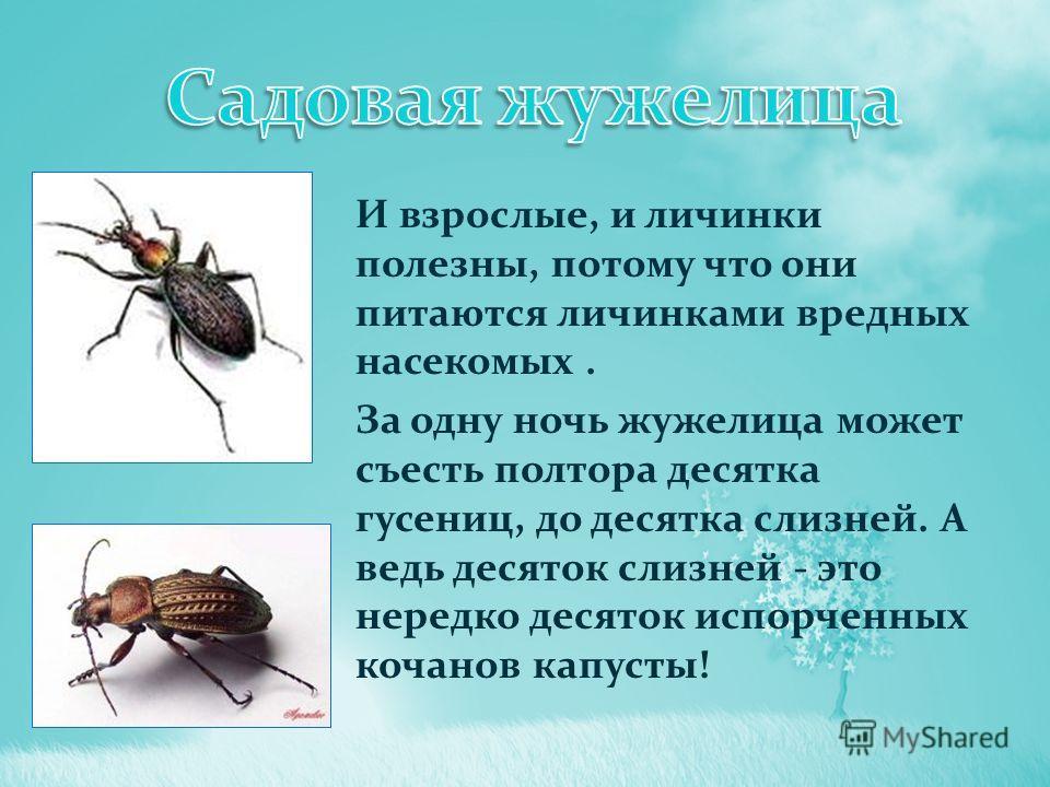И взрослые, и личинки полезны, потому что они питаются личинками вредных насекомых. За одну ночь жужелица может съесть полтора десятка гусениц, до десятка слизней. А ведь десяток слизней - это нередко десяток испорченных кочанов капусты!