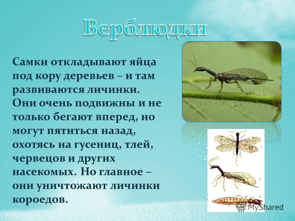 Самки откладывают яйца под кору деревьев – и там развиваются личинки. Они очень подвижны и не только бегают вперед, но могут пятиться назад, охотясь на гусениц, тлей, червецов и других насекомых. Но главное – они уничтожают личинки короедов.