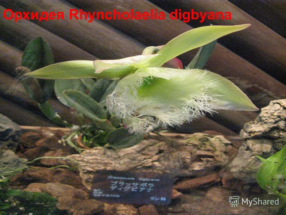 Орхидея Rhyncholaelia digbyana