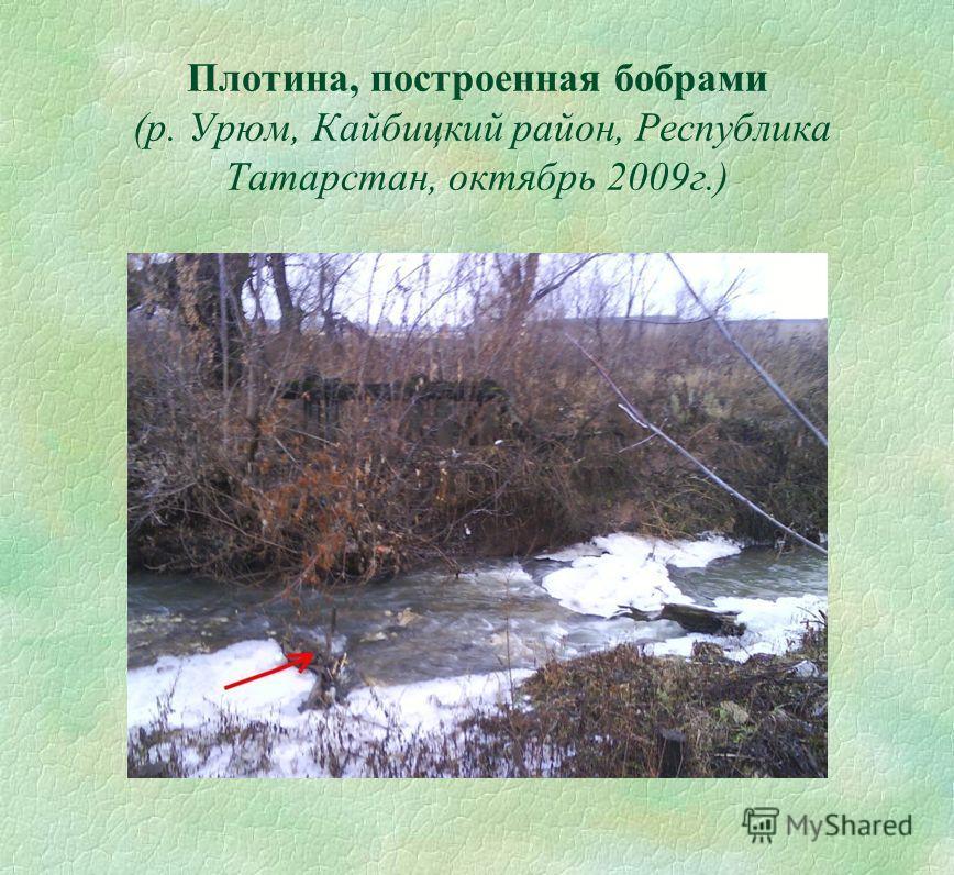 Плотина, построенная бобрами (р. Урюм, Кайбицкий район, Республика Татарстан, октябрь 2009г.)