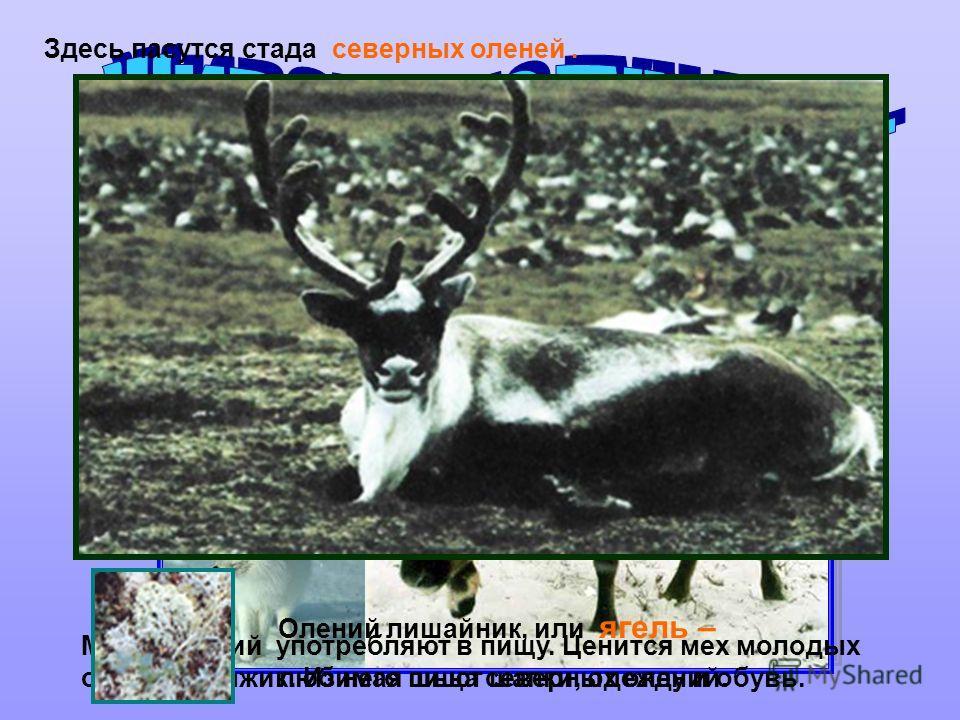 Здесь пасутся стада северных оленей. Мясо олений употребляют в пищу. Ценится мех молодых олений - пыжик. Из него шьют шапки, одежду и обувь. Олений лишайник, или ягель – любимая пища северных олений.