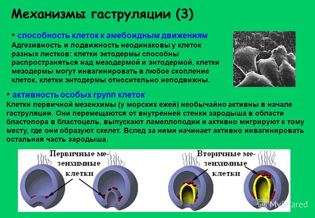 Механизмы гаструляции (3) способность клеток к амебоидным движениям Адгезивность и подвижность неодинаковы у клеток разных листков: клетки эктодермы способны распространяться над мезодермой и энтодермой, клетки мезодермы могут инвагинировать в любое