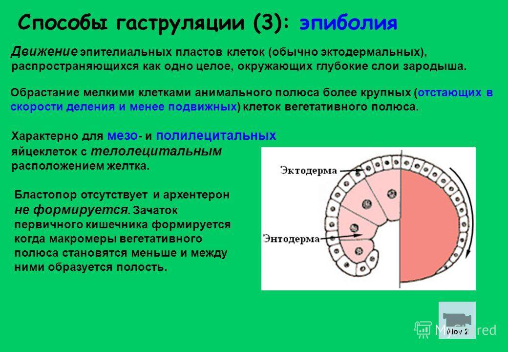 Способы гаструляции (3): эпиболия Движение эпителиальных пластов клеток (обычно эктодермальных), распространяющихся как одно целое, окружающих глубокие слои зародыша. Бластопор отсутствует и архентерон не формируется. Зачаток первичного кишечника фор