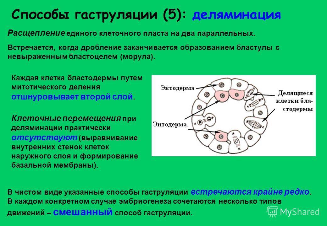 Способы гаструляции (5): деляминация Расщепление единого клеточного пласта на два параллельных. В чистом виде указанные способы гаструляции встречаются крайне редко. В каждом конкретном случае эмбриогенеза сочетаются несколько типов движений – смешан