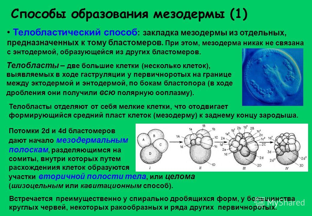 Способы образования мезодермы (1) Телобластический способ : закладка мезодермы из отдельных, предназначенных к тому бластомеров. При этом, мезодерма никак не связана с энтодермой, образующейся из других бластомеров. Телобласты отделяют от себя мелкие