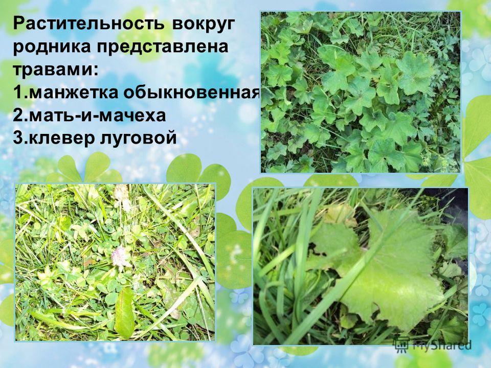 Растительность вокруг родника представлена травами: 1. манжетка обыкновенная. 2.мать-и-мачеха 3.клевер луговой