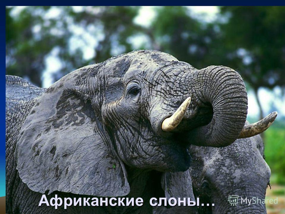 Африканские слоны…