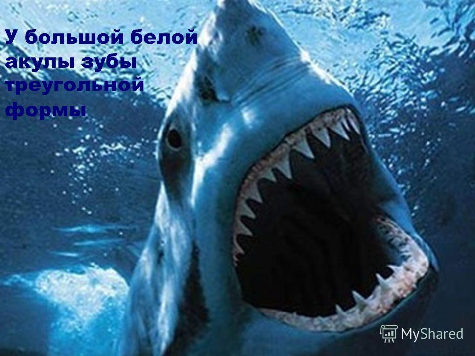 У большой белой акулы зубы треугольной формы