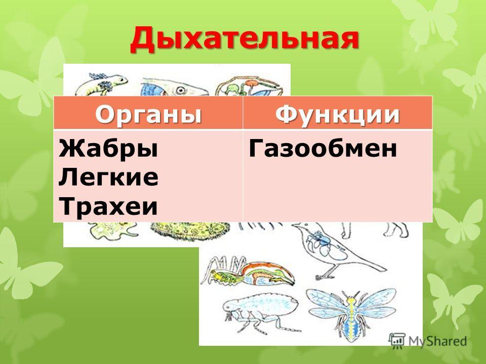 ДыхательнаяОрганыФункции Жабры Легкие Трахеи Газообмен