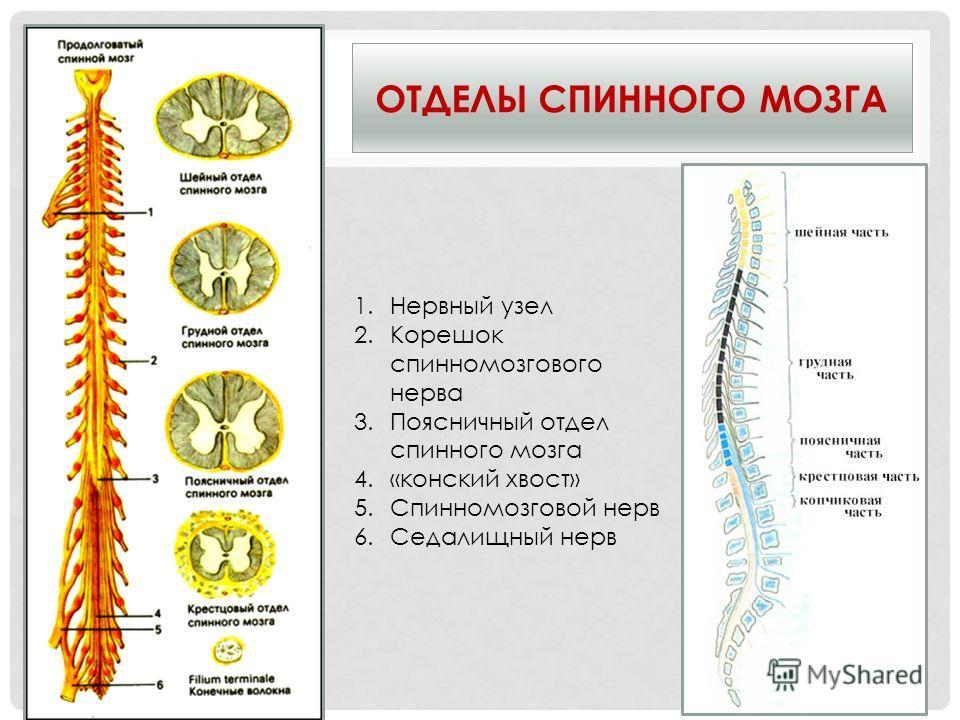 ОТДЕЛЫ СПИННОГО МОЗГА 1.Нервный узел 2.Корешок спинномозгового нерва 3.Поясничный отдел спинного мозга 4.«конский хвост» 5.Спинномозговой нерв 6.Седалищный нерв
