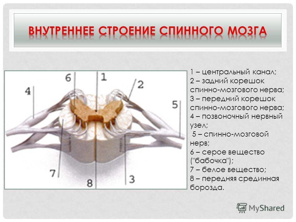 1 – центральный канал; 2 – задний корешок спинно-мозгового нерва; 3 – передний корешок спинно-мозгового нерва; 4 – позвоночный нервный узел; 5 – спинно-мозговой нерв; 6 – серое вещество (бабочка); 7 – белое вещество; 8 – передняя срединная борозда.