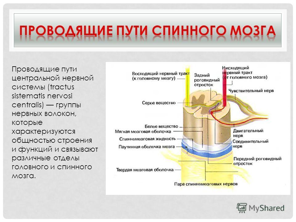 Проводящие пути центральной нервной системы (tractus sistematis nervosi centralis) группы нервных волокон, которые характеризуются общностью строения и функций и связывают различные отделы головного и спинного мозга.
