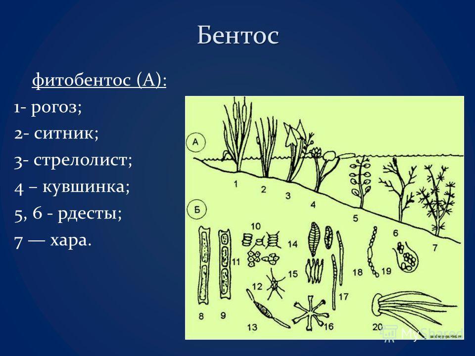 Бентос фитобентос (А): 1- рогоз; 2- ситник; 3- стрелолист; 4 – кувшинка; 5, 6 - рдесты; 7 хара.