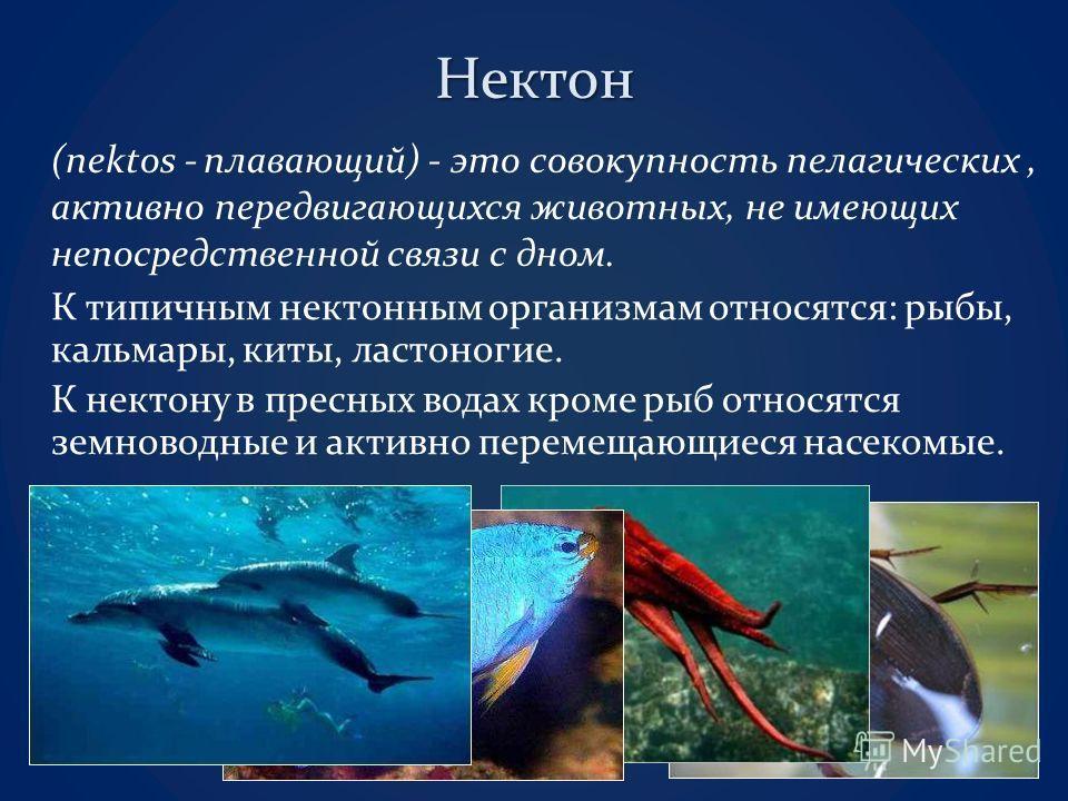 Нектон (nektos - плавающий) - это совокупность пелагических, активно передвигающихся животных, не имеющих непосредственной связи с дном. К типичным нектонным организмам относятся: рыбы, кальмары, киты, ластоногие. К нектону в пресных водах кроме рыб
