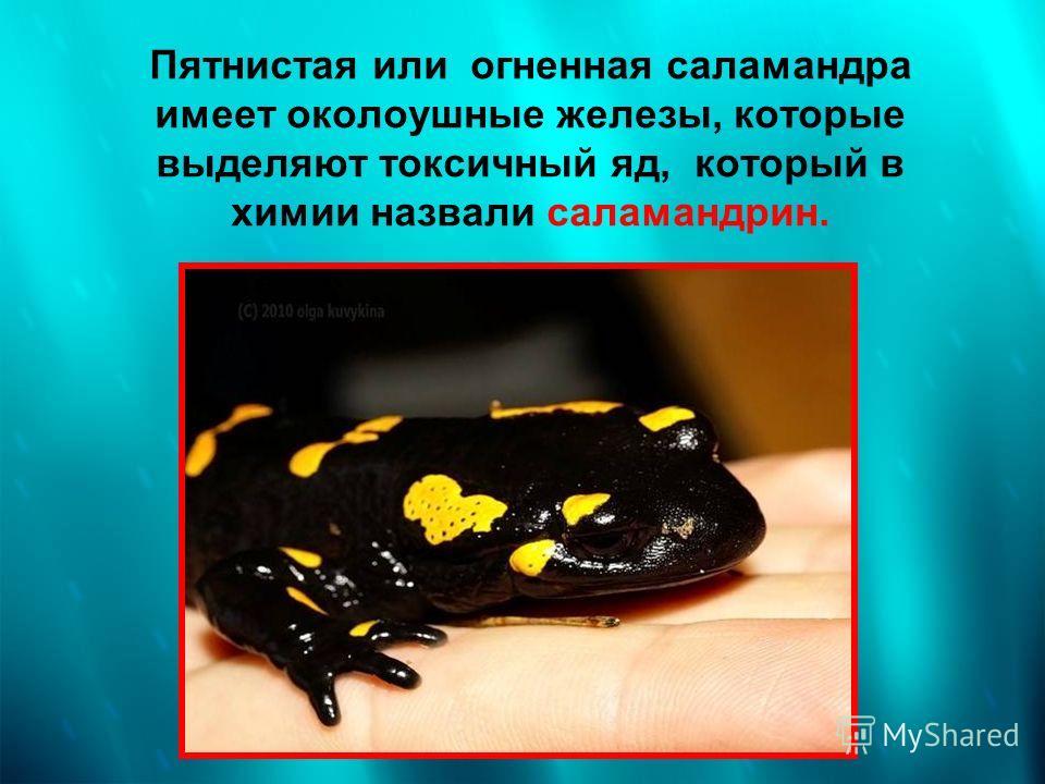 Пятнистая или огненная саламандра имеет околоушные железы, которые выделяют токсичный яд, который в химии назвали саламандрин.