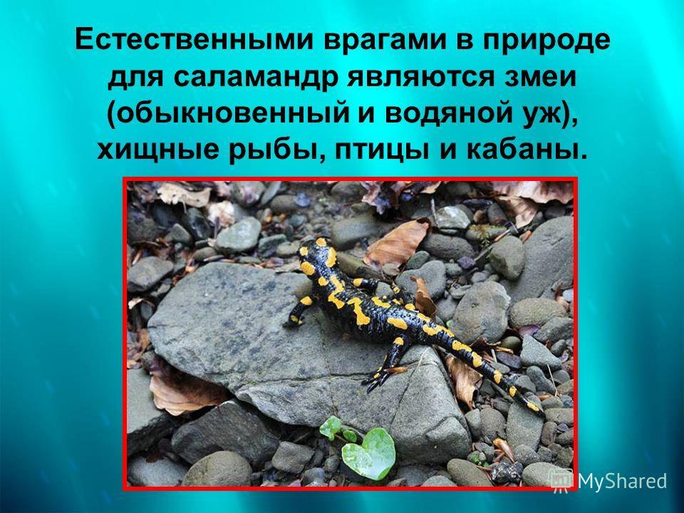 Естественными врагами в природе для саламандр являются змеи (обыкновенный и водяной уж), хищные рыбы, птицы и кабаны.