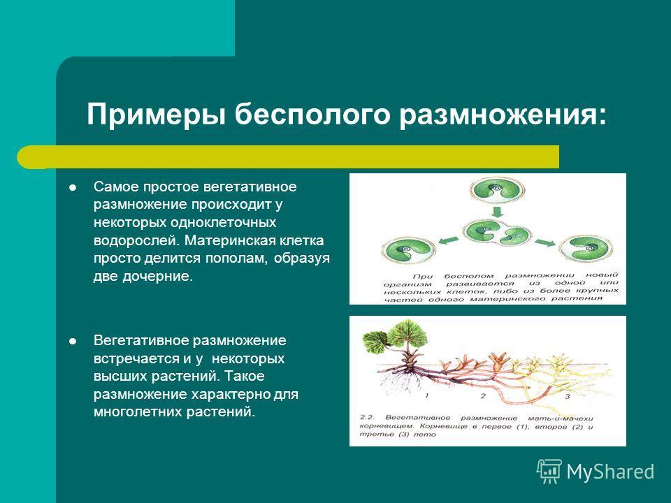 Примеры бесполого размножения: Самое простое вегетативное размножение происходит у некоторых одноклеточных водорослей. Материнская клетка просто делится пополам, образуя две дочерние. Вегетативное размножение встречается и у некоторых высших растений