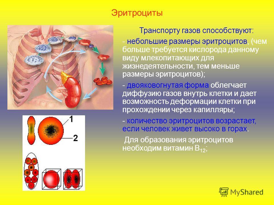 Эритроциты Транспорту газов способствуют: - небольшие размеры эритроцитов, (чем больше требуется кислорода данному виду млекопитающих для жизнедеятельности, тем меньше размеры эритроцитов); - двояковогнутая форма облегчает диффузию газов внутрь клетк