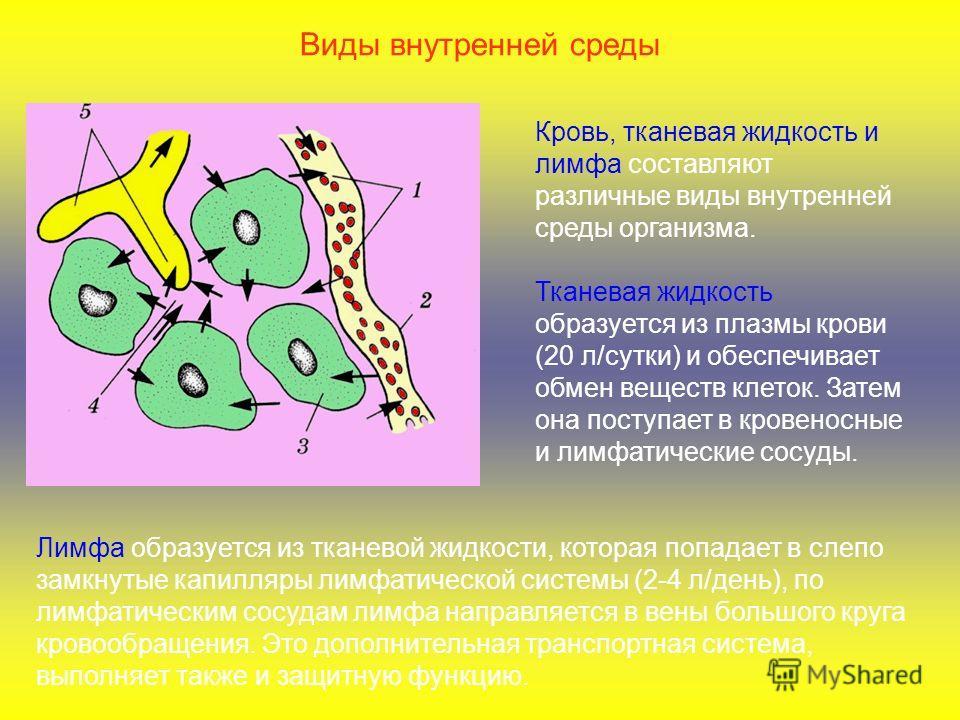 Виды внутренней среды Кровь, тканевая жидкость и лимфа составляют различные виды внутренней среды организма. Тканевая жидкость образуется из плазмы крови (20 л/сутки) и обеспечивает обмен веществ клеток. Затем она поступает в кровеносные и лимфатичес