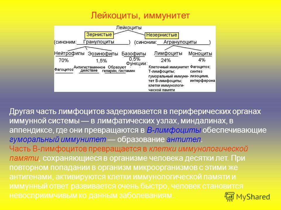 Другая часть лимфоцитов задерживается в периферических органах иммунной системы в лимфатических узлах, миндалинах, в аппендиксе, где они превращаются в В-лимфоциты обеспечивающие гуморальный иммунитет образование антител. Часть В-лимфоцитов превращае