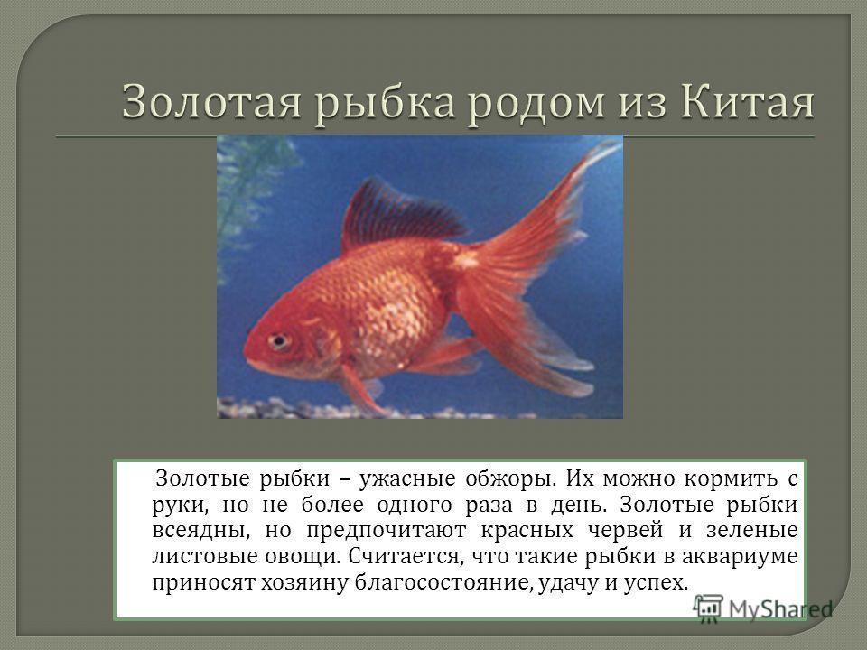 Золотые рыбки – ужасные обжоры. Их можно кормить с руки, но не более одного раза в день. Золотые рыбки всеядны, но предпочитают красных червей и зеленые листовые овощи. Считается, что такие рыбки в аквариуме приносят хозяину благосостояние, удачу и у