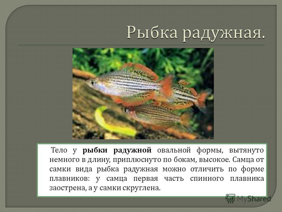 Тело у рыбки радужной овальной формы, вытянуто немного в длину, приплюснуто по бокам, высокое. Самца от самки вида рыбка радужная можно отличить по форме плавников : у самца первая часть спинного плавника заострена, а у самки скруглена.