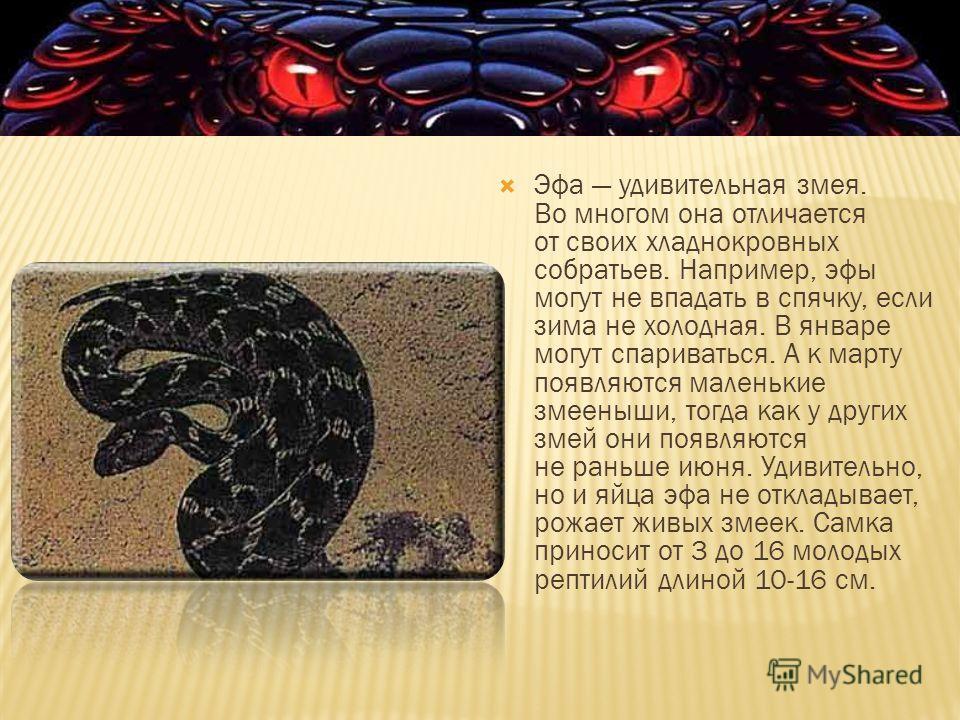 Эфа удивительная змея. Во многом она отличается от своих хладнокровных собратьев. Например, эфы могут не впадать в спячку, если зима не холодная. В январе могут спариваться. А к марту появляются маленькие змееныши, тогда как у других змей они появляю