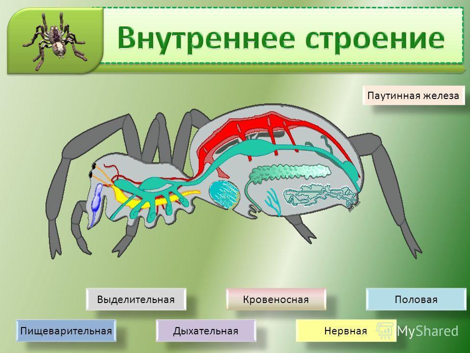 Выделительная Кровеносная Половая Нервная Дыхательная Пищеварительная Паутинная железа