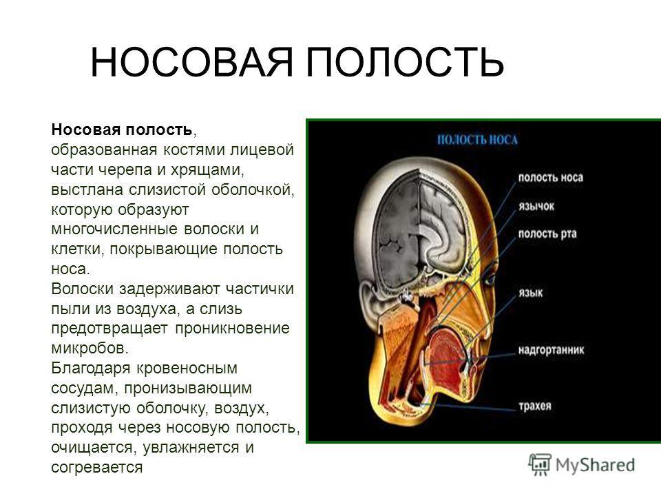 Носовая полость, образованная костями лицевой части черепа и хрящами, выстлана слизистой оболочкой, которую образуют многочисленные волоски и клетки, покрывающие полость носа. Волоски задерживают частички пыли из воздуха, а слизь предотвращает проник